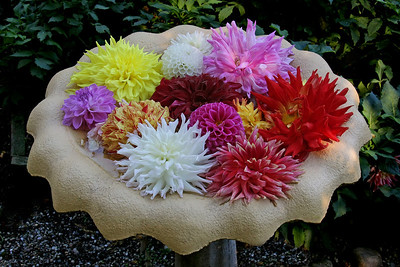 Cut Dahlia Flowers at Barard Cutting Arboretum