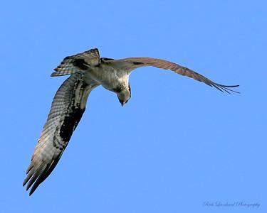 Osprey over Bayard Cutting Arboretum.