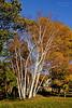 Beautiful Birch Trees in Autumn at Cedarmere.
