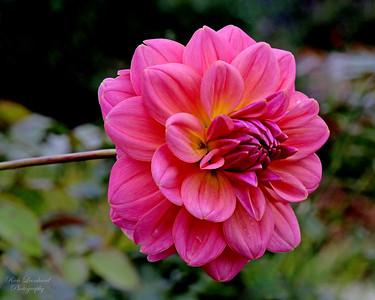 Pink Dahlia in Old Westbury Gardens.