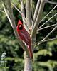 Cardinal at Old Westbury Gardens.