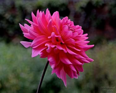 Pink Dahlia at Old Westbury Gardens.