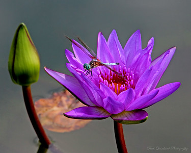 Dragonfly on Water Lilly at Old Westbury Gardens.