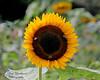 Sunflower at Old Westbury Gardens.
