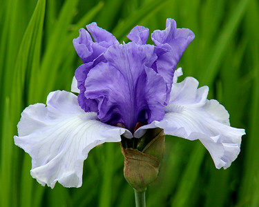 """Discovered Treasure"" Iris at Old Westbury Gardens"
