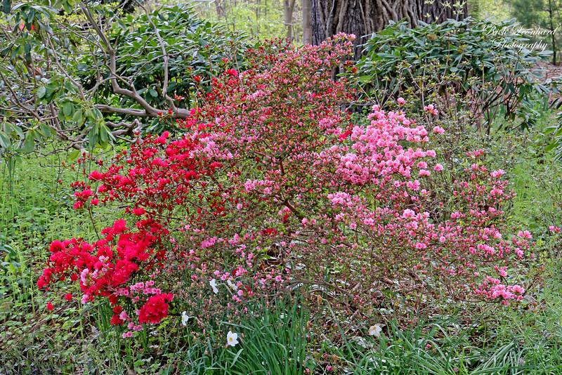 Colorful flowered bush in Old Westbury Gardens.