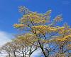 Beautiful flowering tree at Old Westbury Gardens.