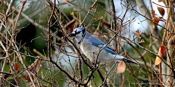 Blue Jay at Old Westbury gardens.