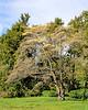 Flowering tree at Old Westbury Gardens.