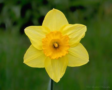 Beautiful Yellow Daffodil in Old Westbury Gardens.