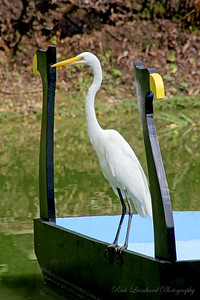Great Egret at Old Westbury Gardens.