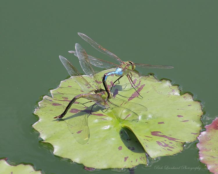 Dragon Flies mating at Old Westbury Gardens