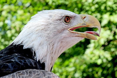 Bald Eagle at The Scottish Games in Old Westbury gardens. 2017