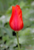 Pretty red Tulip in Walled Garden at Old Westbury Gardens.