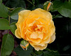 Yellow Rose of Old Westbury Gardens.
