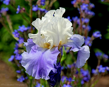 Beautiful Iris in the Walled Garden at Old Westbury Gardens.