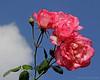 Roses at Old Westbury gardens.