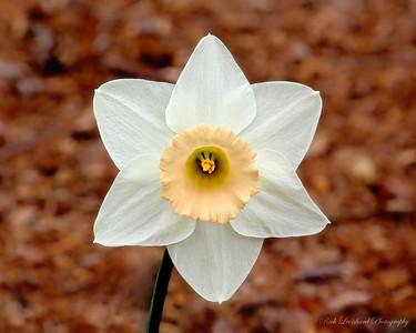 Daffodil at Old Westbury Gardens.
