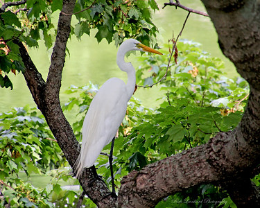 Great Egret near West Pond at Old Westbury Gardens.