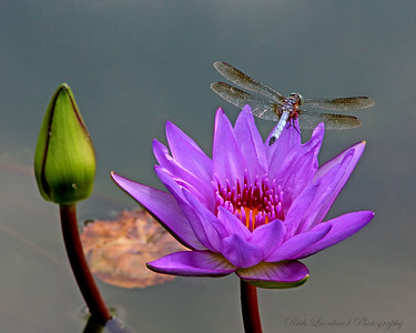 Dragonfly on Waterlilly at Old Westbury gardens.