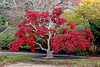 Maple Tree with beautiful red leaves at Old Westbury gardens.