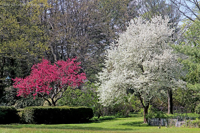 Beautiful flowering trees at Old Westbury Gardens.