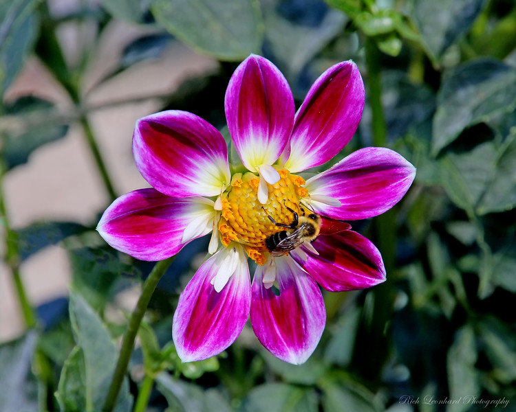 Dahlia and Bee at Planting Fields Arboretum.