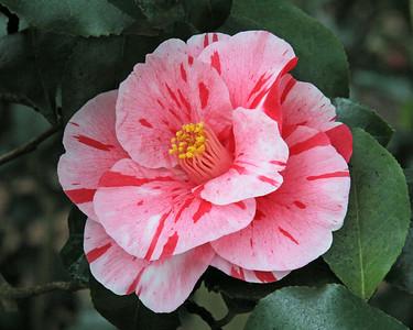 Planting Fields Arboretum, Camellia flower