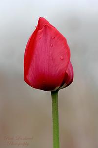 Pretty Tulip on foggy day in Planting Fields Arboretum.