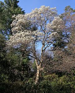 Magnolia tree at Planting Fields Arboretum