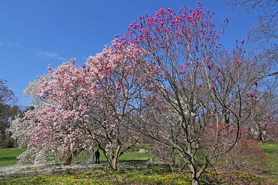 Couple with Magnolia Trees at Planting Fields Arboretum