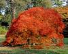 Japanese Maple at Planting Fields Arboretum.