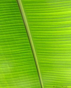 Backlit leaf in greenhouse at Planting Fields Arboretum.