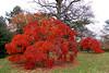 Planting Fields Arboretum Japanese Maples