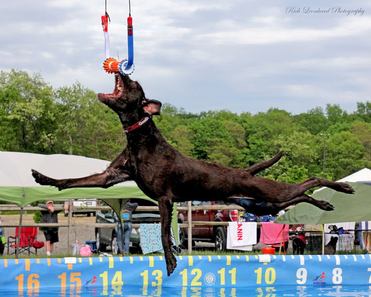 Dog leaping for toy.