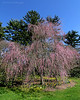 Beautiful flowering tree at Planting Fields Arboretum.