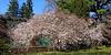 Flowering tree at Planting Fields Arboretum.