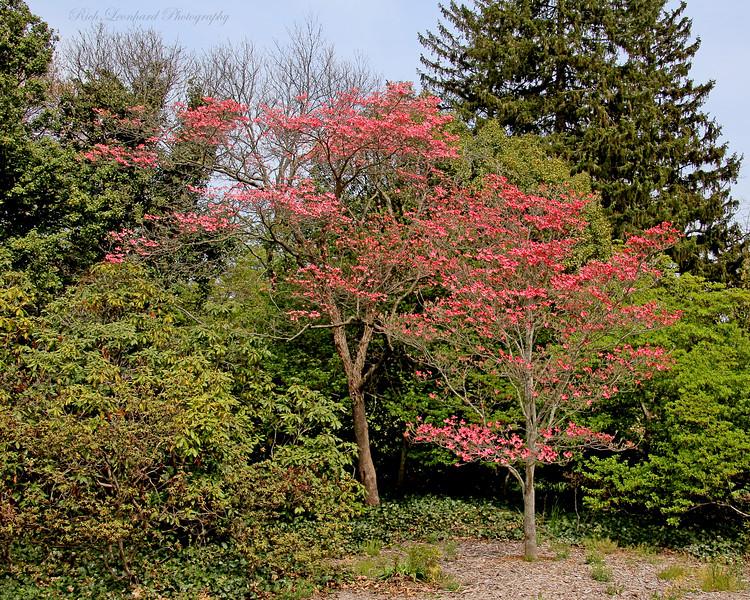 Pretty flowering tree at Planting Fields Arboretum.