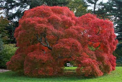 Japanese Maple in Planting Fields Arboretum.