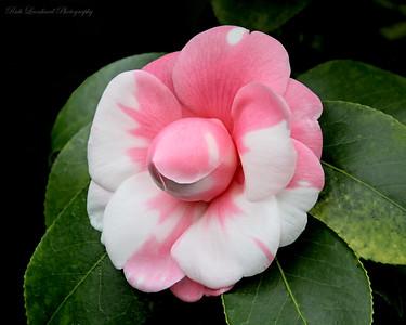 Camellia flower in Planting Fields Arboretum.
