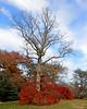 Japanese Maples in Planting Fields Arboretum.