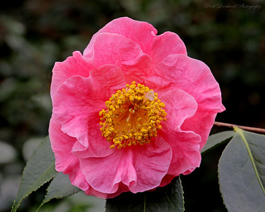 Beautiful pink Camellia at Planting Fields Arboretum.