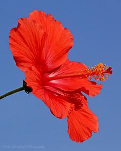 Hibiscus at Planting Fields Arboretum.