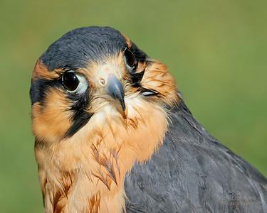 Falcon at Old Westbury Gardens, NY.