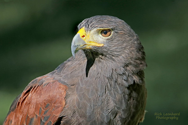 Hawk at Old Westbury Gardens, NY.
