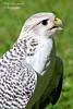 Falcon.