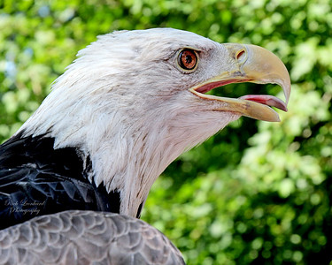 Bald Eagle at The Scottish Games in Old Westbury gardens, 2017.