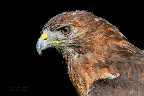 Red Tailed Hawk at Old Westbury Gardens, NY.