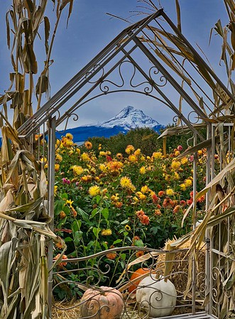 Dahlias & Mt. Hood. I don't like Dahlias but I grow them since they flower until winter.