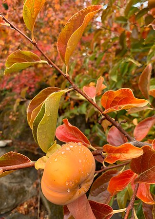 Our Persimmons are almost ripe so late fall is here. Yum!